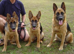 Photo of 3 rogues (German Shepherd Dogs)